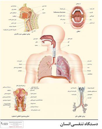 پوستر آموزشی دستگاه تنفسی انسان