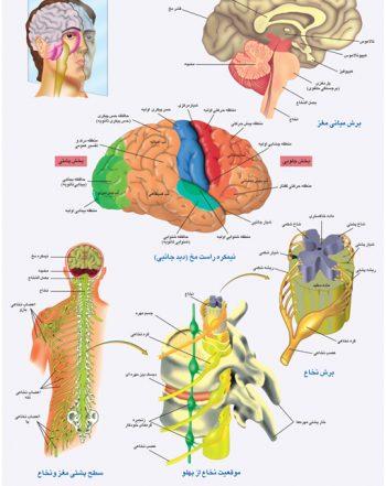 پوستر آموزشی دستگاه عصبی ۲