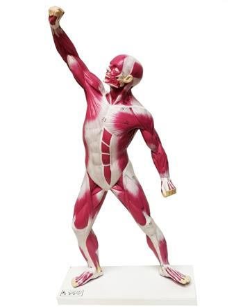 مدل(مولاژ) عضلات بدن در ۱/۴ اندازه طبیعی