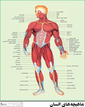 پوستر آموزشی ماهیچه های بدن انسان
