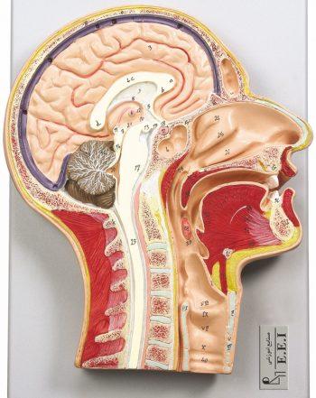 مدل مقطع میانی سر و گردن در اندازه طبیعی