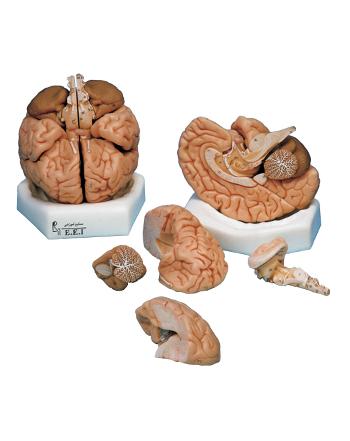 مدل (مولاژ) مغز ۸ تکه