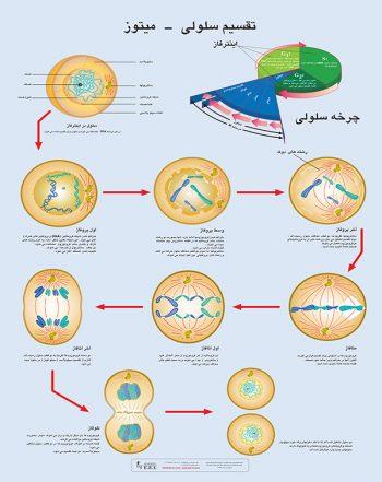 پوستر آموزشی تقسیم سلولی میتوز لمینت شده