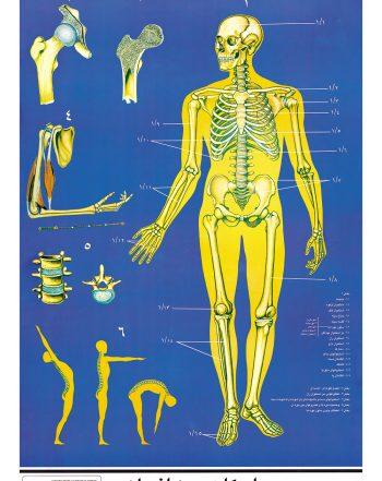 پوستر آموزشی اسکلت بدن انسان