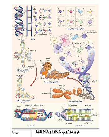 پوستر آموزشی کروموزم