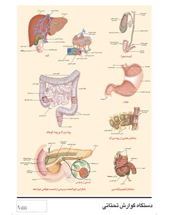 پوسترآموزشی دستگاه گوارش انسان – (۲)اندام تحتانی