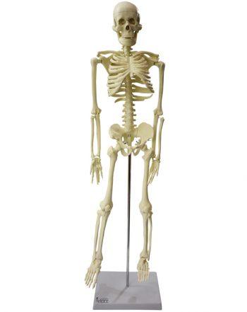 مدل (مولاژ) اسکلت انسان کوچکتر از اندازه طبیعی
