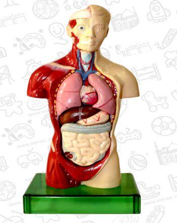 مولاژآناتومی نیم تنه بدن انسان