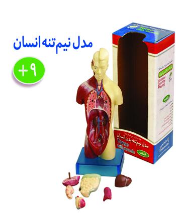 مولاژ آناتومی نیمتنه بدن انسان