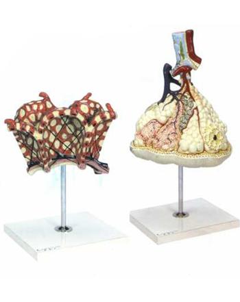 مدل لبول وآلوئل ریه کد۲۶۰۰۳