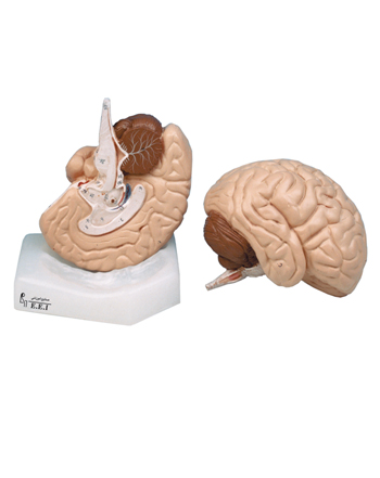 مدل (مولاژ) مغز دو تکه