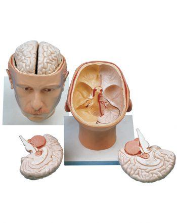 مدل (مولاژ) سر با نمایش مغز و کف جمجمه